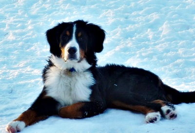 Adopting Page 6 Heart Of Michigan Bernese Mountain Dog