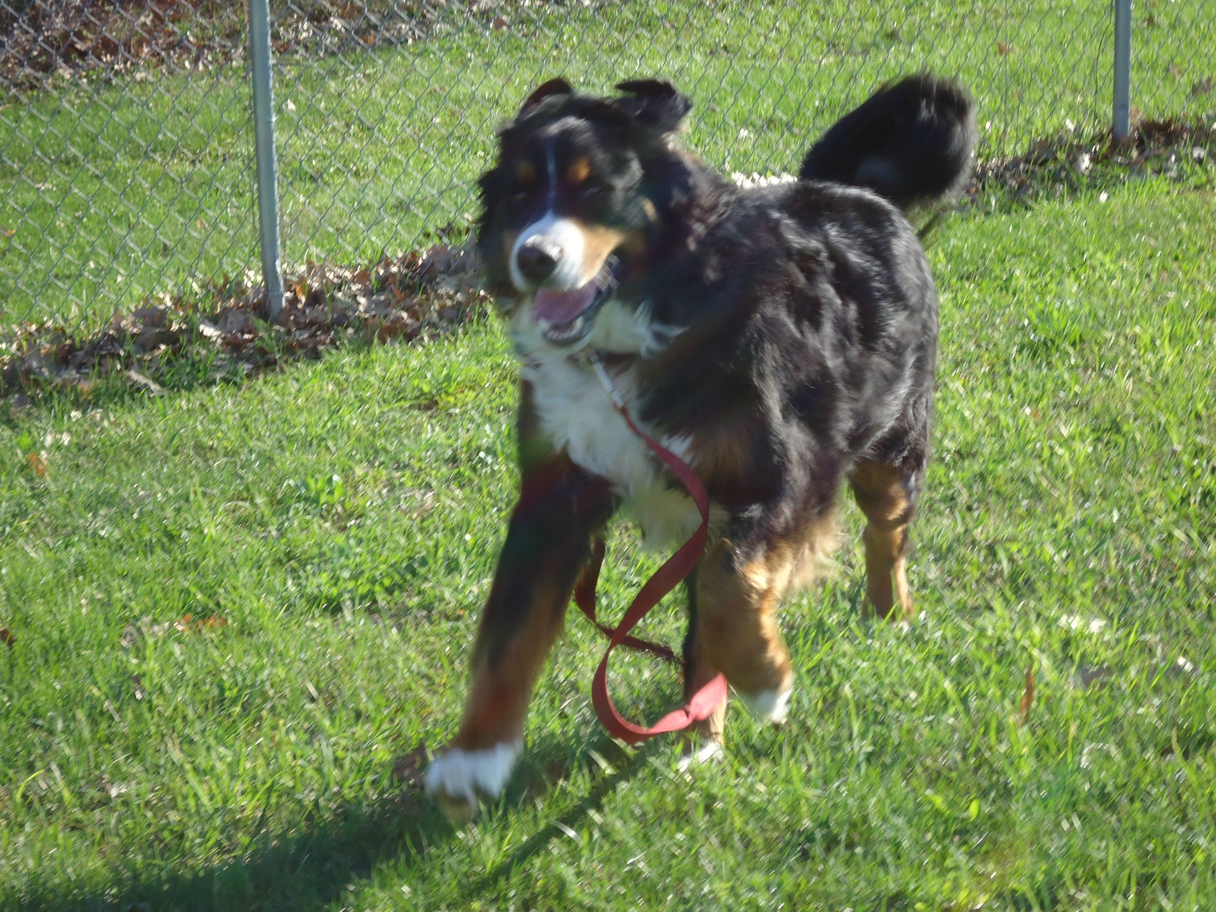Bernese Mountain Dog Rescue Michigan
